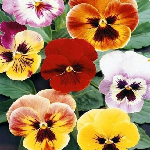 Viola - Pansy - Aalsmeer King Sized Mix - Appx 400 seeds